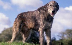 Dog Breeds: Irish Wolfhound dog caracteristicas