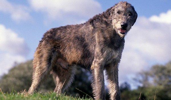 Dog Breeds: Irish Wolfhound dog caracteristicas