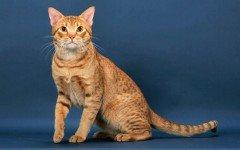 Razas Felinas: Gato Ocicat características y carácter