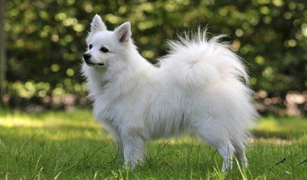 Razas de Perros: Volpino italiano caracteristicas