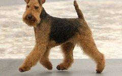 Razas de Perros: perro Terrier Galés caracteristicas