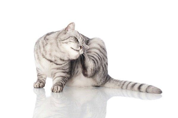 Enfermedades de los gatos: Picazon en los gatos cuidados