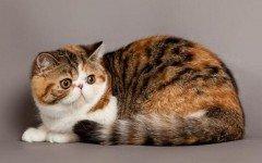 Razas Felinas: Gato persa americano características