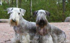Razas de Perros: perro Terrier Checo caracteristicas y cuidados
