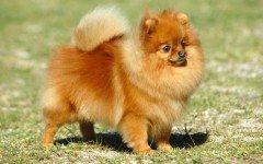 Razas de Perros: Spitz enano caracteristicas y cuidados