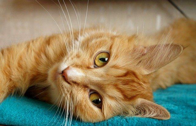 Enfermedades tiroideas del gato: el hipertiroidismo tiroides del gato