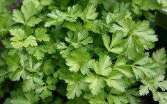 Prezzemolo: pianta aromatica che fa bene agli animali