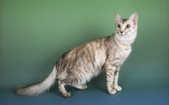 Razas Felinas: Gato oriental de pelo largo características