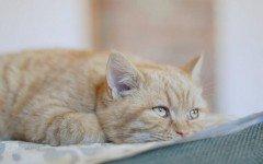 Razas de Perros: Leucemia felina FeLV sintomas