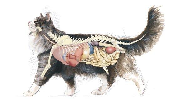 Sistema endocrino del gato: las hormonas y el comportamiento - Dogalize