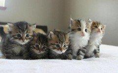 Cuccioli gatto siberiano, caratteristiche e origini