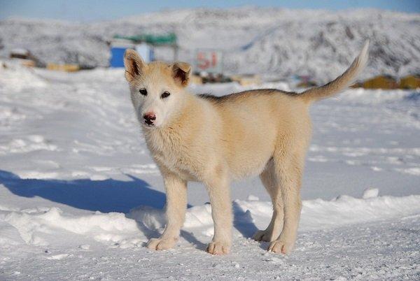 Razas de Perros: Perro de Groenlandia caracteristicas