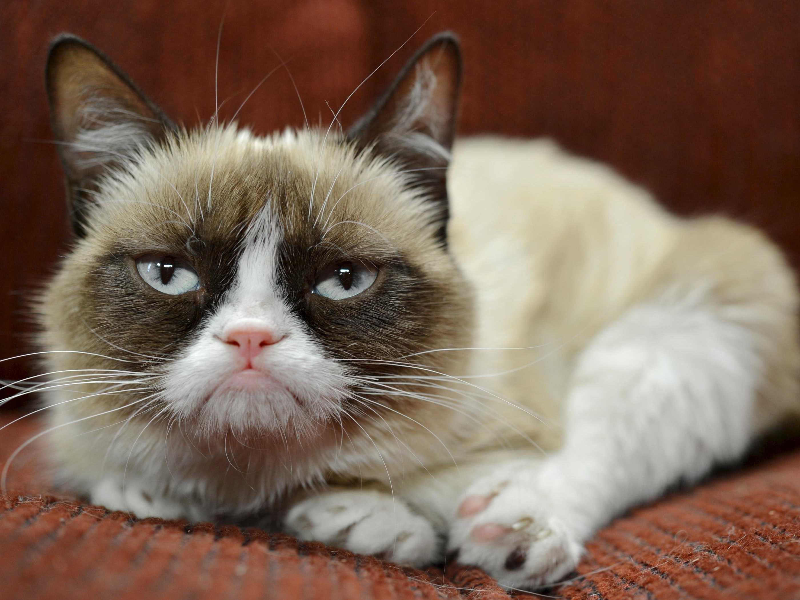 The grumpy cat meme is a macro illustration that features Tarder Sauce, a mixed-breed cat that appears to be grumpy in the pictures that made him famous.
