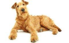 Razas de Perros: perro Terrier Irlandés caracteristicas