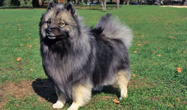 The Keeshond dog is the most beloved dog in Holland. This old breed traveled the canals and rivers of Holland during the 17th and 18th century.