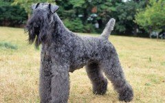 The Kerry Blue Terrier Dog is not a well-known breed born in Ireland. These dogs were bred to hunt small game, kill rodents, and to herd sheep and cattle.