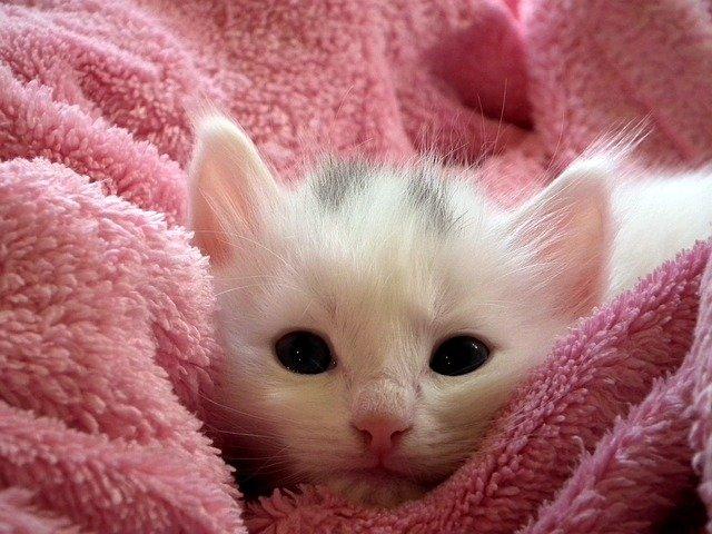 clamidiosis Enfermedades de los gatos: Chlamidiophila felis