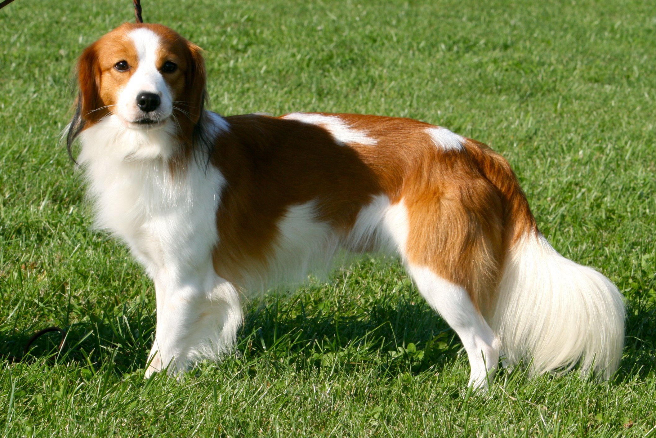 The Kooikerhondje dog is original from Hungary and was developed to help hunting ducks. He is still a hunting dog but also excels at sports like flyball.