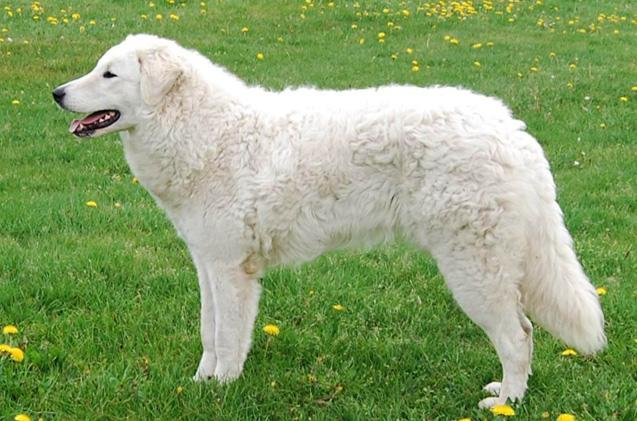 The Kuvasz dog is a large breed of dog, of Hungarian origin and is an ancient livestock breed. He is very protective of his people and aloof of strangers.