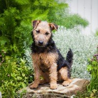 westmoreland terrier dog breeds the lakeland terrier dog characteristics 7782