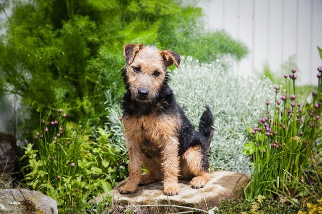 This mid-size Terrier, the Lakeland Terrier, has an independent personality but interacts with all the members of the family nicely.