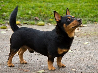 The Lancashire Heeler dog is original from Britain, where he was developed to hunt rabbits and rats at home and to drive cattle on the field.