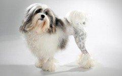 Razas Felinas: Lowchen caracteristicas y cuidados