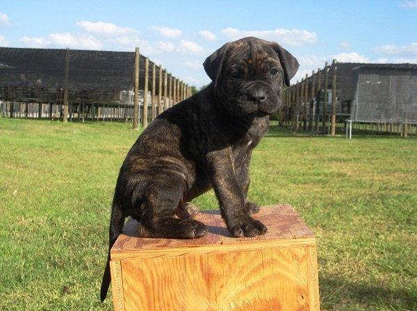 Razas de Perros: Perro presa canario caracteristicas