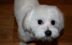 Cura e salute del cane maltese: igiene e attenzioni