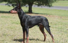 The Manchester Terrier dog was bred in Manchester England for the purpose of killing rats. This dog has a strong personality and a loyal heart.