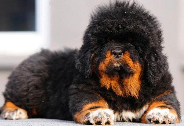 Razze Cani: il Mastino Tibetano, carattere e prezzo