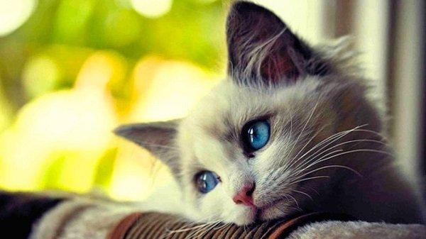 Enfermedades de los gatos: Inmunodeficiencia felina (VIF)