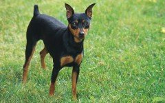 The Miniature Pinscher dog looks more like a miniature Doberman. The Min Pin is an old breed, created to hunt vermin in homes and stables in Germany.