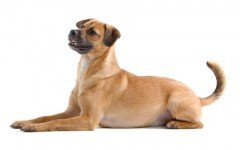 The Mutt dog, also known as a mongrel, or as many prefer it, a mixed-breed dog, is one that does not belong to any recognized breed.