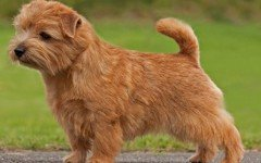 The Norfolk Terrier dog has the heart of a working dog. He is alert, vivacious, playful, and a great companion. He is a big dog in the boy of a small one.