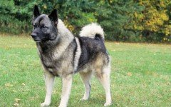 Friendly and pretty funny, the Norwegian Elkhound dog is a wolf-like dog that will become the delight of any home. He is bold, energetic, and dependent.