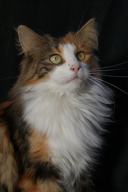 Gatto anallergico norvegese: le sue caratteristiche