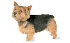 The Norwich Terrier dog was originally bred to be a ratter in farms. Then he helped hunt fox. Today, he is a great companion and loving dog.