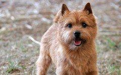 Razas de Perros: perro Terrier de Norwich caracteristicas