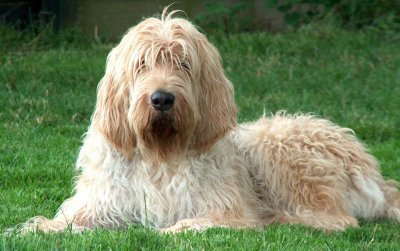 As the name suggests, the Otterhound dog was breed in England to hunt otters. This hunting dog is also a great family dog and an absolute and playful clown.