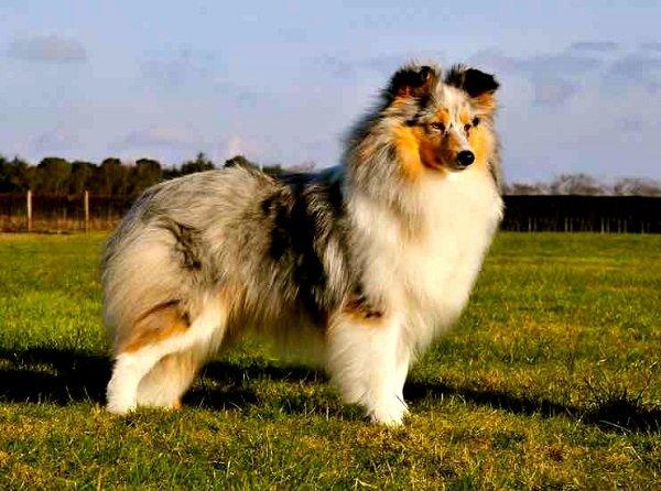 Razas de Perros: Perro pastor de las islas Shetland