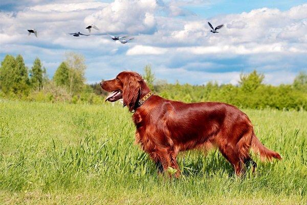 Razas de Perros: perro Setter irlandes caracteristicas y cuidados