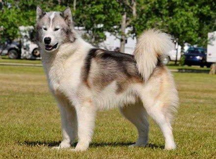 Razas de Perros: Perro esquimal canadiense caracteristicas