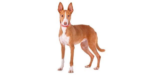 Razas de Perros: Podenco canario caracteristicas