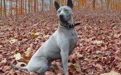 Razas de Perros: perro Ridgeback Tailandés caracteristicas y cuidados
