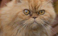 Gatto persiano rosso, tutte le caratteristiche