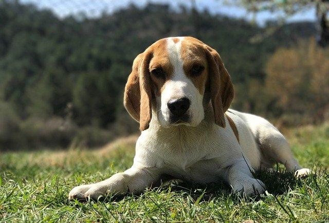 Anemia nel cane: i sintomi e le cause della patologia