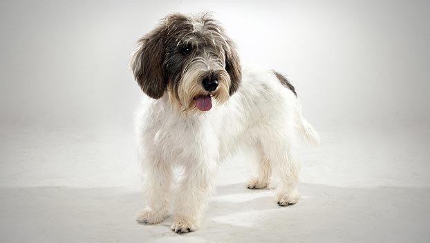 Dog Breeds Petit Basset Griffon Vendeen Dogalize