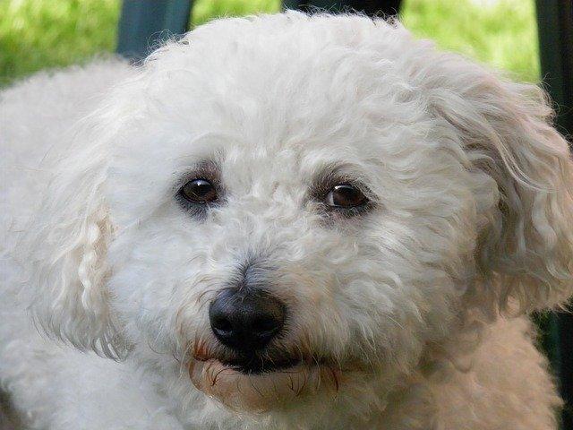 Razze cani: il cane Bolognese, carattere e caratteristiche