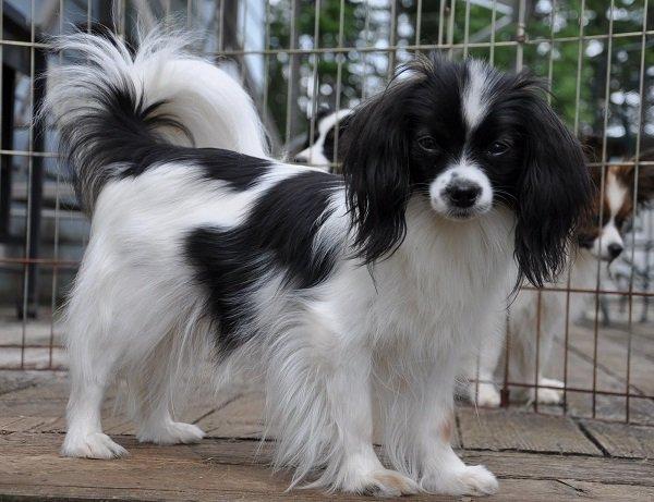 Razas de Perros: Phalene caracteristicas y cuidados